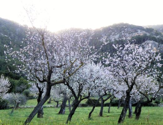 Mandeltræerne blomstrer på Mallorca